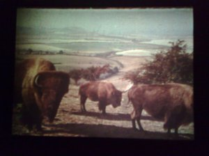 The Bison of Sussex, Jack Cardiff, from 'The Green Girdle'